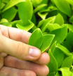 Man holding tea tree leaf