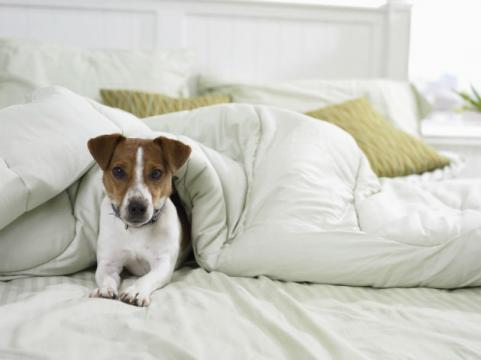 dog in bed under the covers