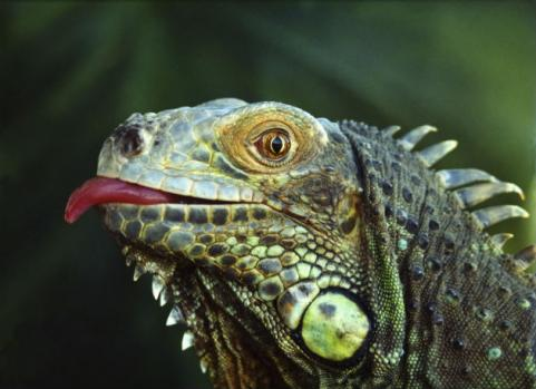 iguana sticking out tongue