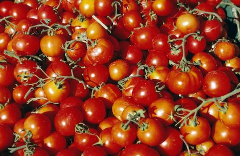 Pile of fresh tomatoes